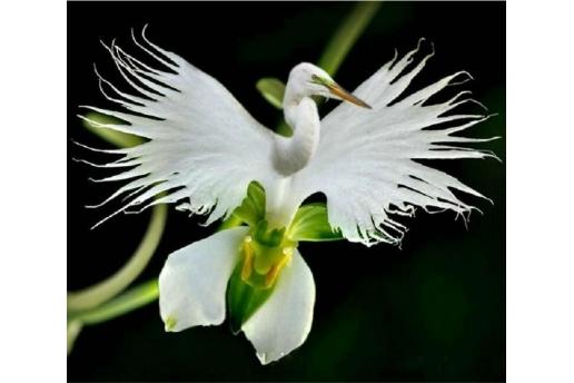 Bin Bir Çeşit Phalaenopsis Orkide Tohumu ( 15 Adet Tohum)