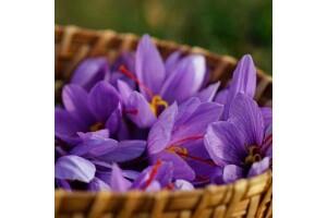 Her Cuma & Cumartesi Kalkışlı Günübirlik Safran Çiçeği Hasadı Turu