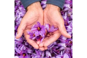 Her Cumartesi Kalkışlı 1 Gece 2 Gün Safranbolu Safran Çiçeği Hasadı Turu